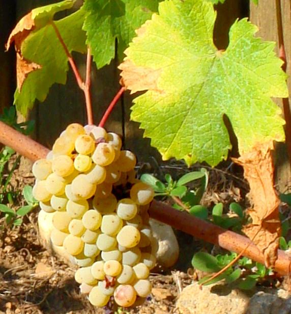Jacquere Grape