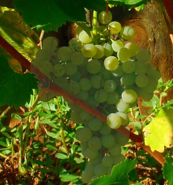 Mondeuse Blanche Grape