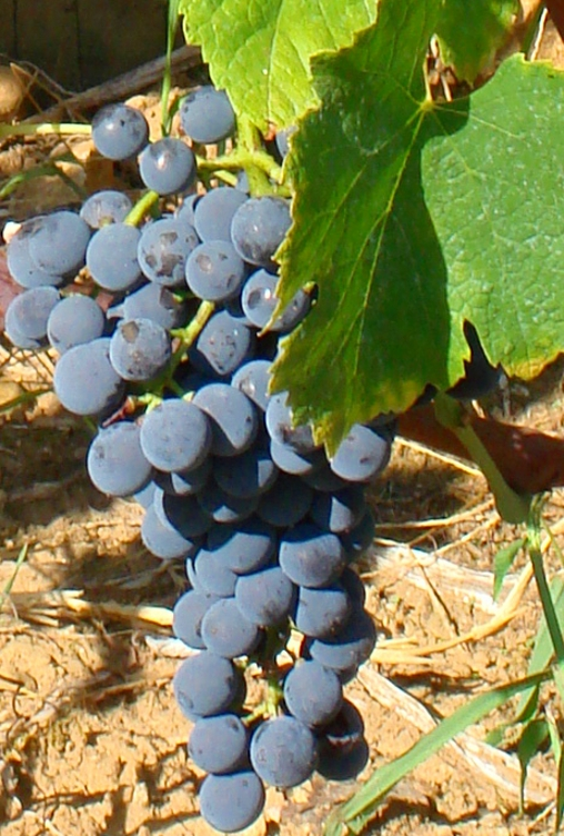 Mondeuse Grape